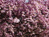 Cerisier_fleurs.jpg