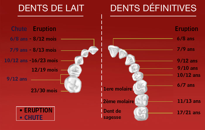L'éruption des dents de lait et des dents définitives 1_03_global