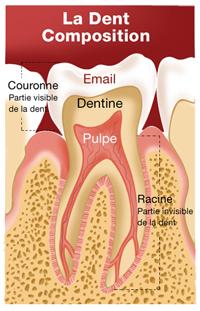 Composition de la dent