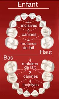 Dents de l'enfant